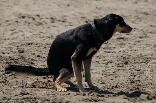 Процесс дефекации у собаки