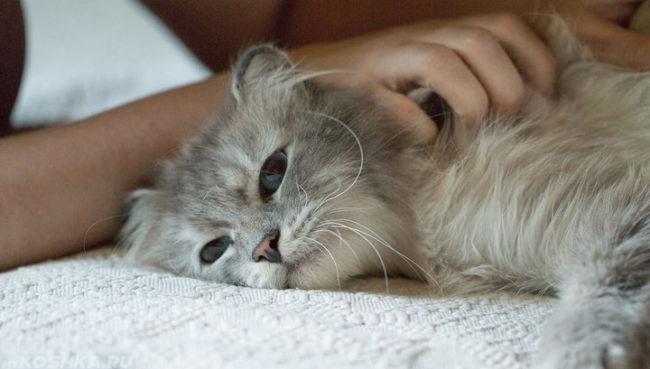 Серая пушистая кошка и рука хозяйки