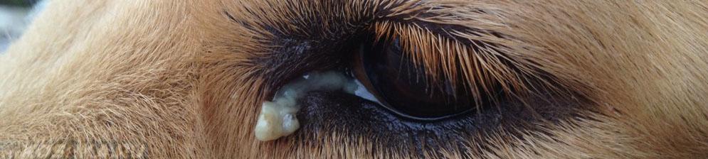 У собаки гноится глаз