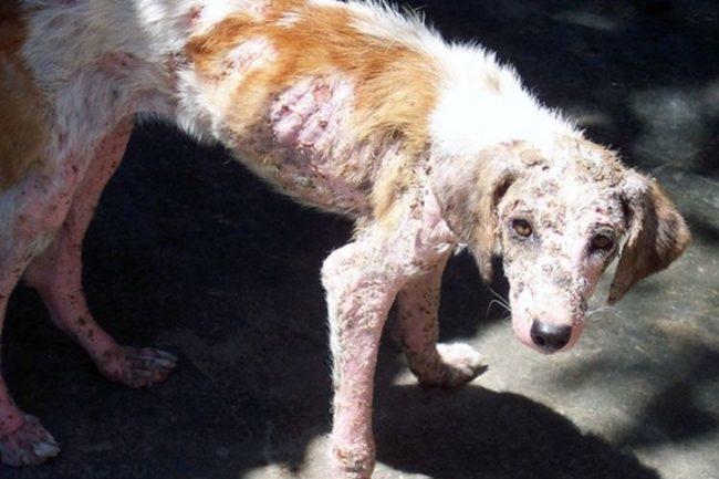 Грибковые поражения на коже собаки