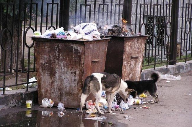 Собаки у мусора поедающие отходы