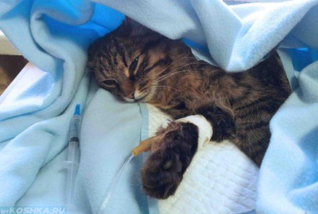 Катетер для кота в голубом одеяле
