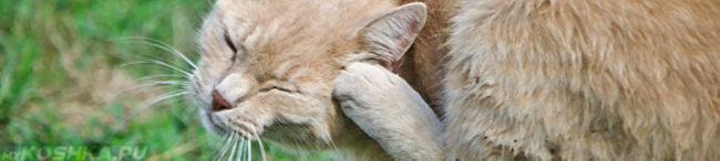 Кошка сильно чешет уши