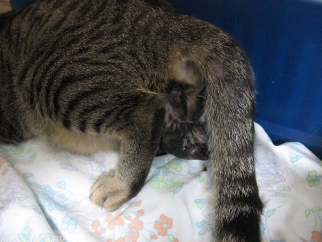 Полосатая кошка рожающая котят