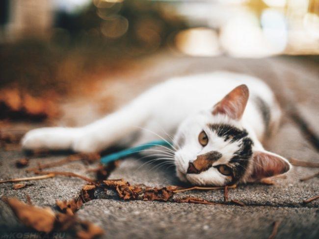 Завалившийся на бок кот с ошейником