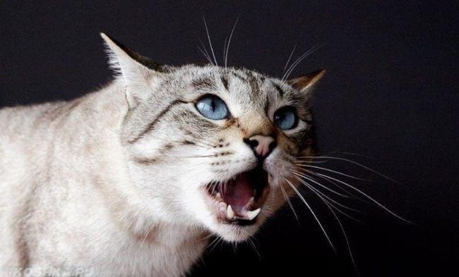 Кричащая кошка с голубыми глазами