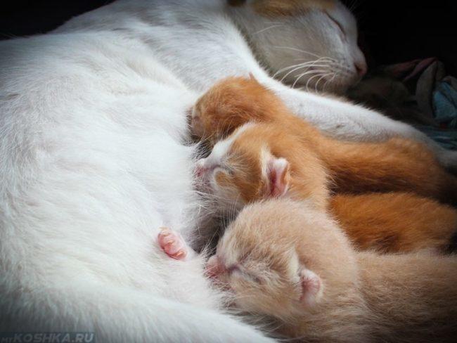 Наступление лактации у кошки