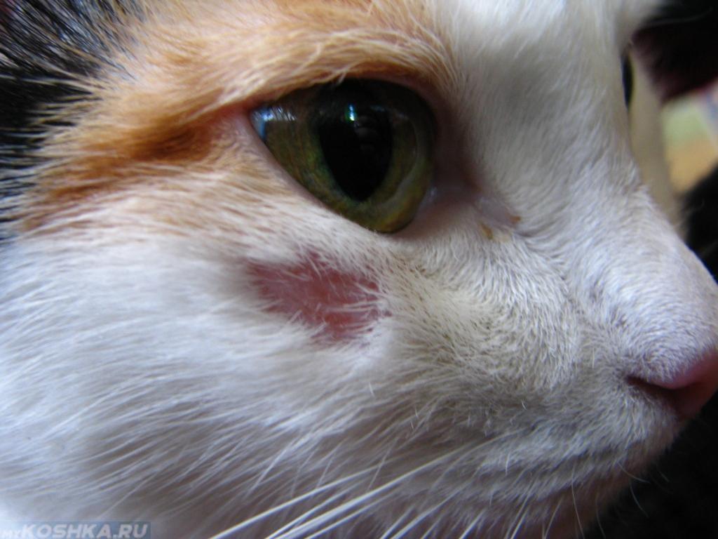 лишай у кошки фото начальная стадия фото