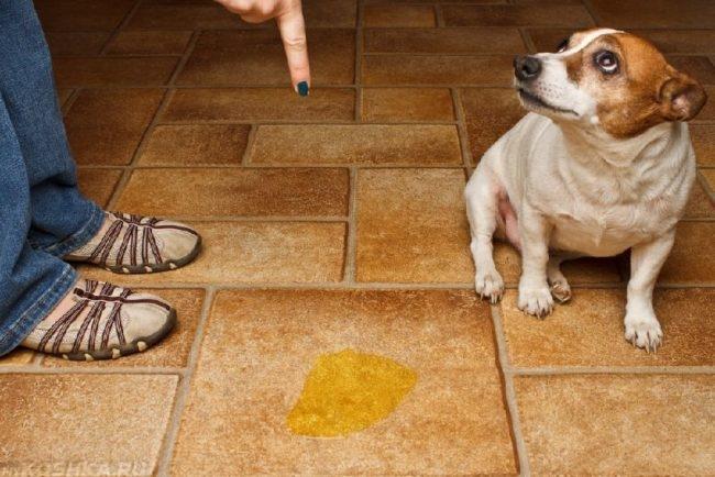 Лужа жёлтого цвета на полу и собака