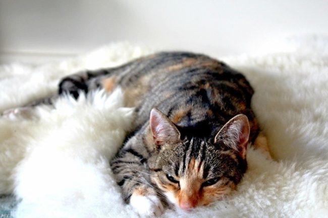 Малоподвижный кот на белой ткани