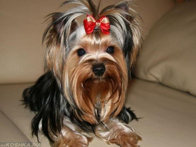 Собака мелкой породы с бантиком