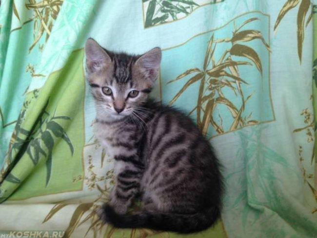 Молодая полосатая пушистая кошка