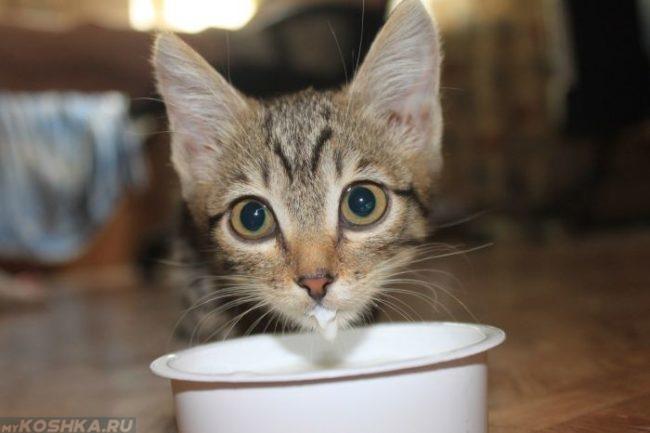 Употребление котом молока