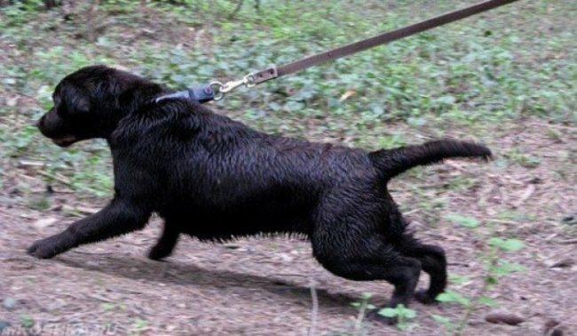 Чёрная собака рвущаяся с поводка