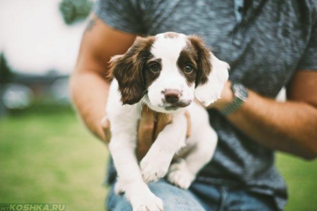 Ушастый щенок на руках хозяина