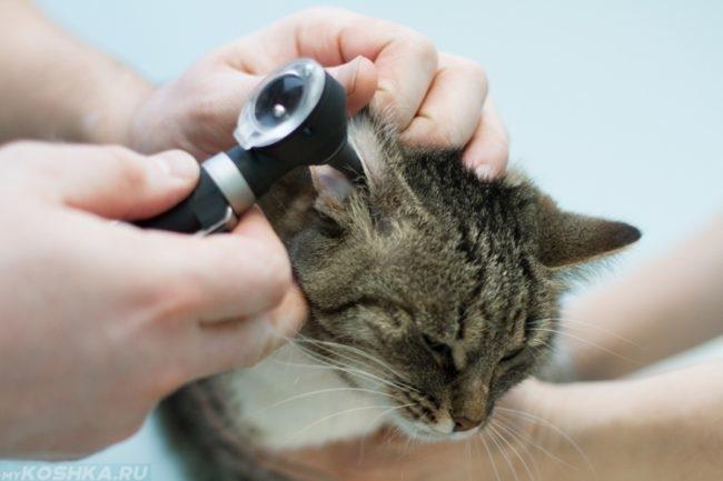 Процедура осмотра правого уха кота