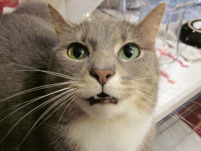 Серый кот с открытым ртом