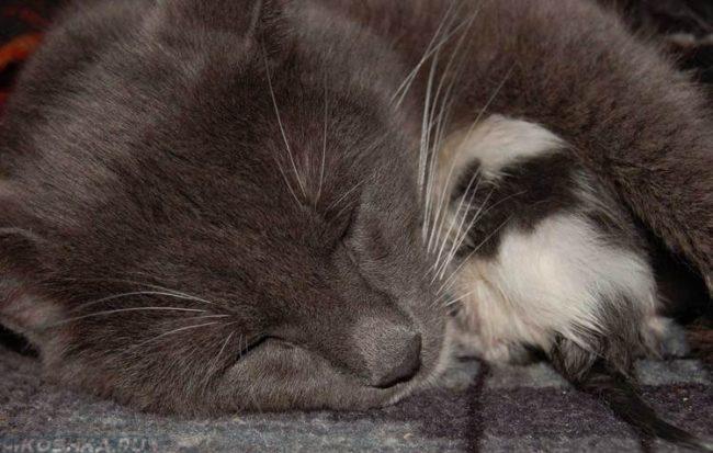 Серая кошка после родов и котёнок