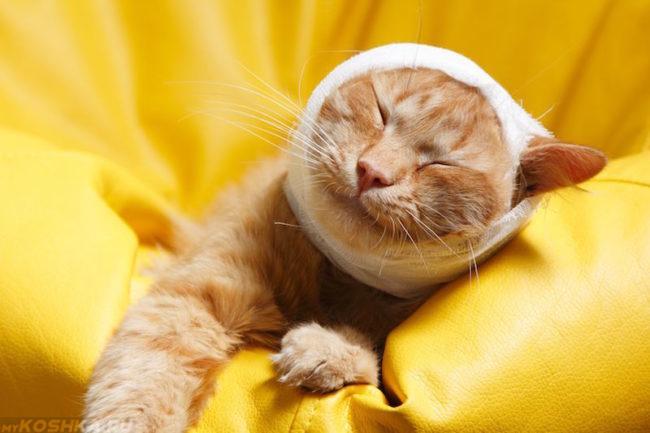 Фиксирующая повязка у рыжего кота на ухе