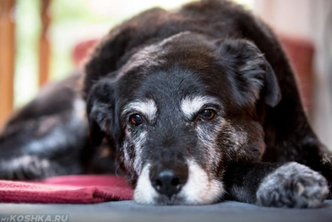 Пожилой пёс лежащий на полу