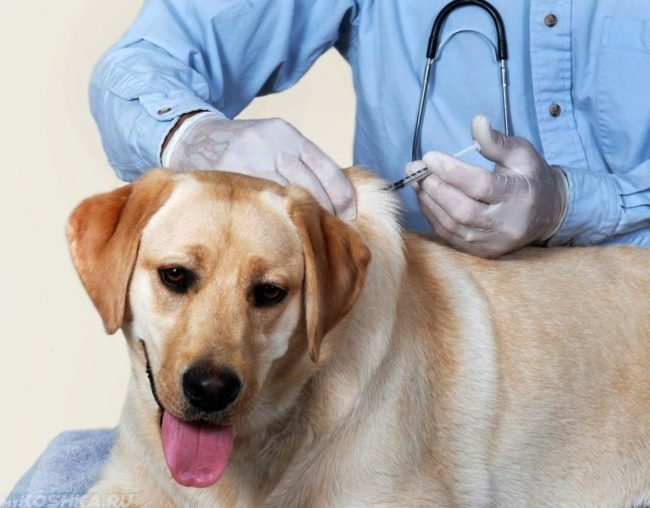 Прививка собаке в ветеринарной клинике