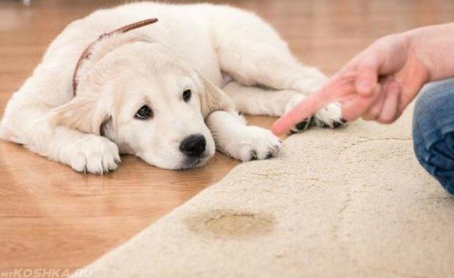 Мокрое пятно на ковре и собака