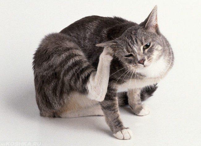 Кошка расчёсывающая ухо