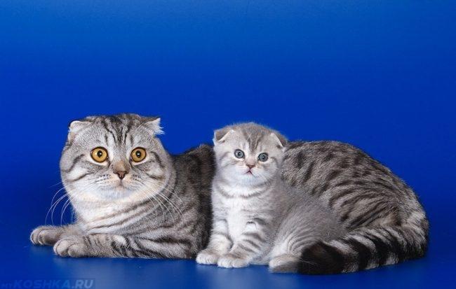 Шотландская кошка с котёнком
