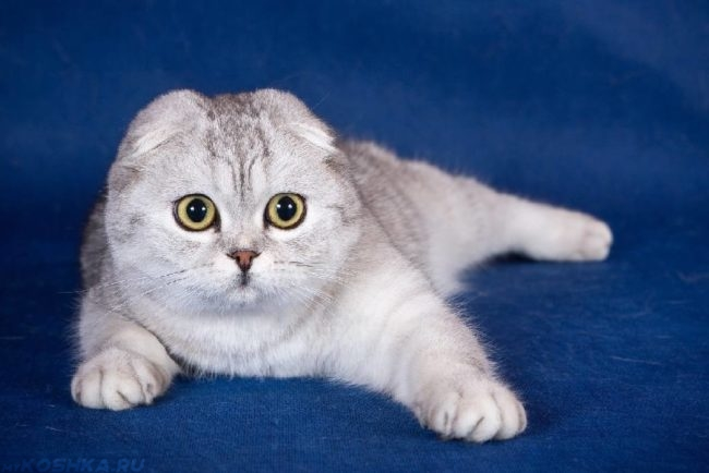Кошка породы скоттиш фолд на синем фоне