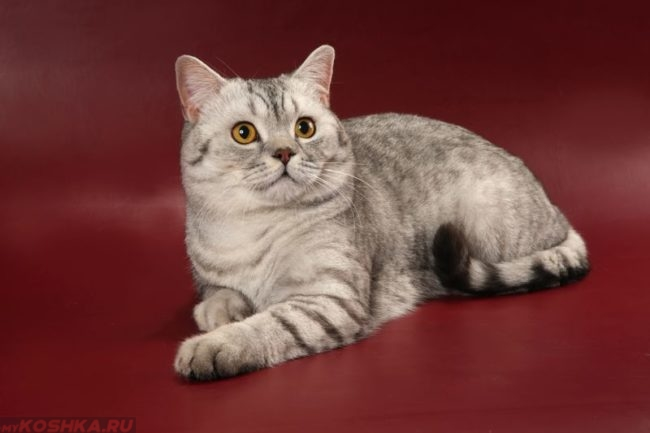 Кот породы шотландский прямоухий скоттиш страйт на красном фоне