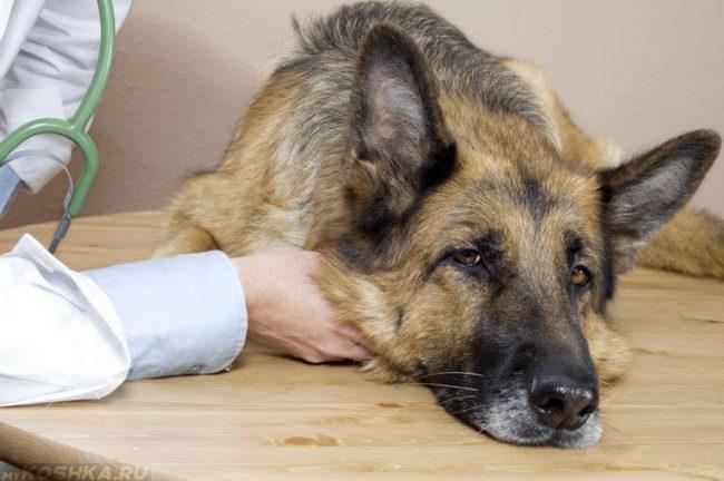 Слабость у собаки и рука человека
