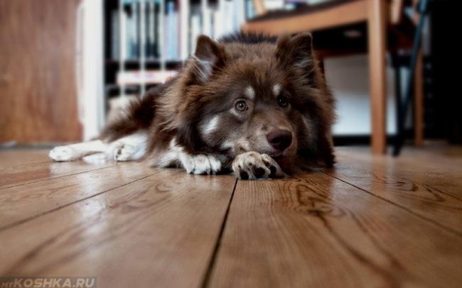 Пушистая собака лежащая на полу