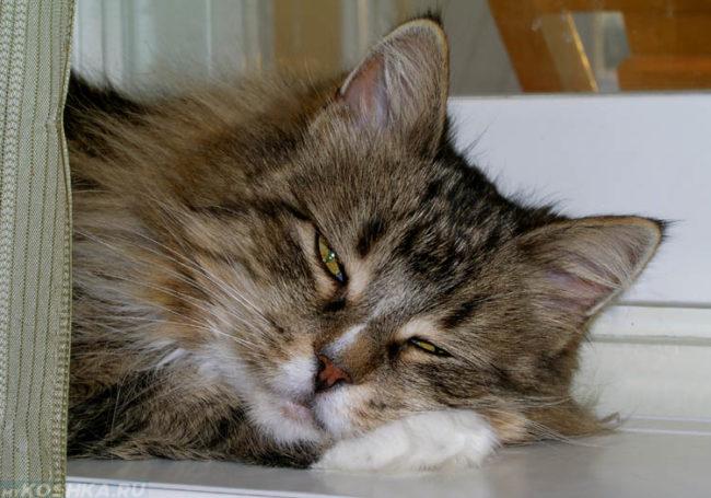 Сонливый пушистый кот с белыми лапами