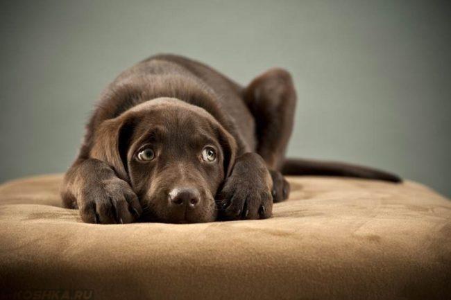 Стресс у коричневой собаки