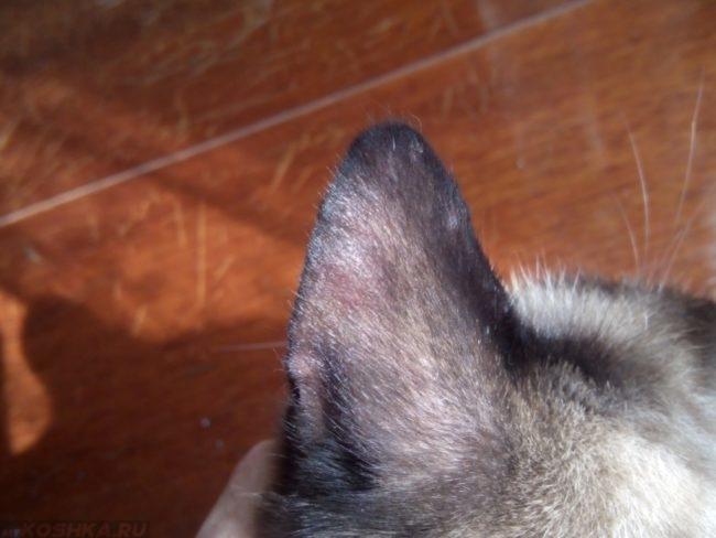 Внешняя поверхность уха кота
