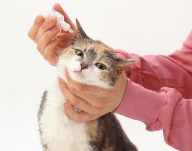 Процедура закапывания в ухо кота капель