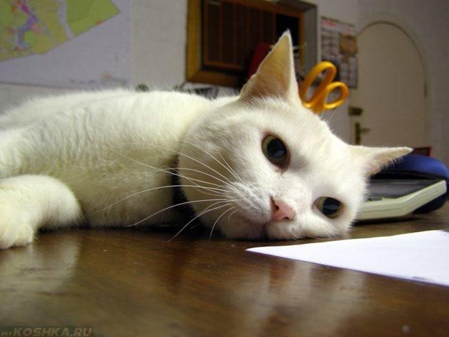Утомлённый белый кот лежащий на боку