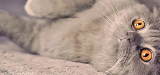 Вислоухая серая кошка