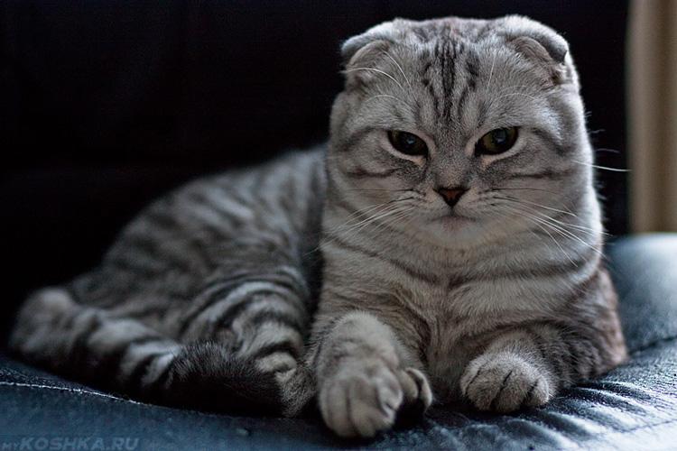 британская серая вислоухая кошка фото