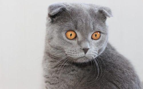 Шотландская вислоухая кошка с жёлтыми глазами