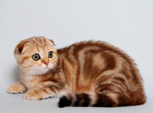 Шотландская полосатая вислоухая кошка