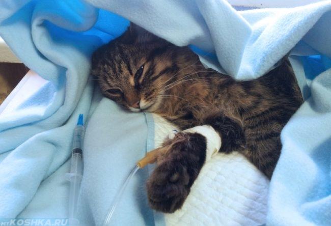 Внутривенное вливание глюкозы коту