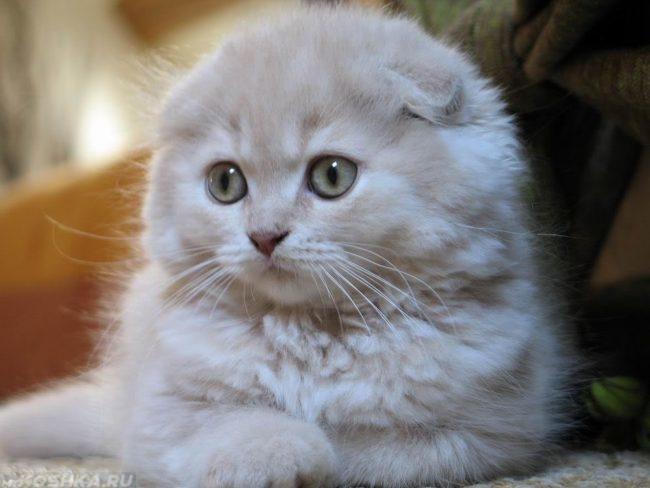 Восемь месяцев шотландской вислоухой кошке