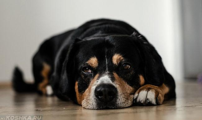 Вялый пёс лежащий на полу
