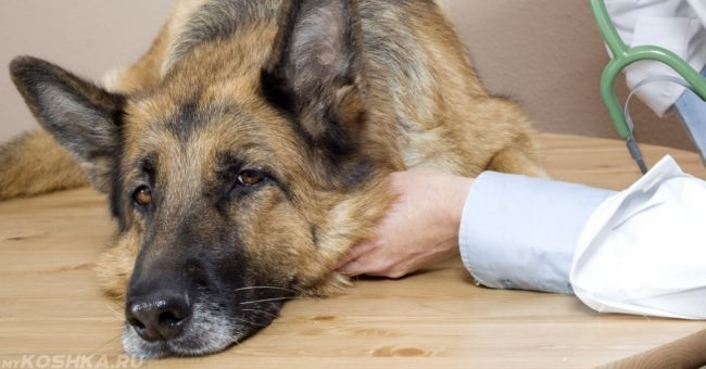 Заболевший пёс и рука человека