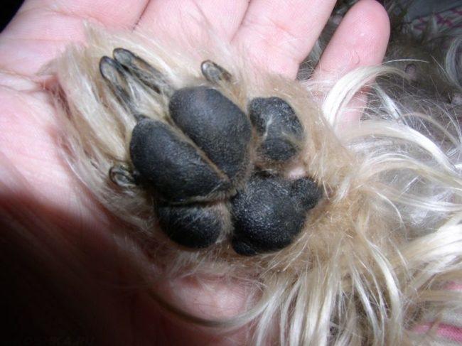 Подушечки пальцев у собаки