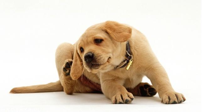 Зуд в ухе у собаки на белом фоне