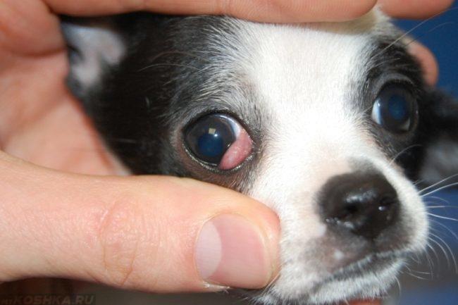 Аденома у собаки на глазе