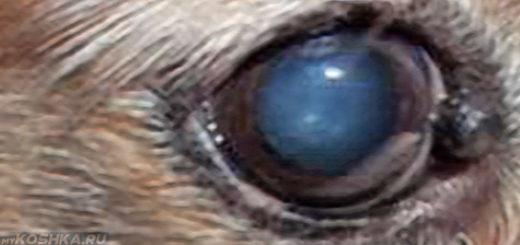 Аденома третьего века у собаки