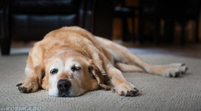 Апатичная собака лежащая на полу